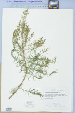 Artemisia dracunculus image
