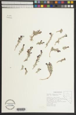 Penstemon thompsoniae image