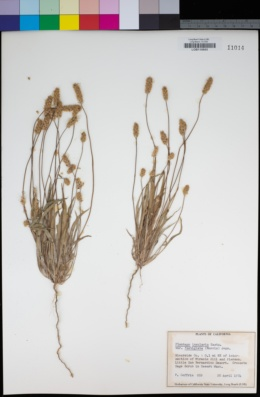 Plantago ovata var. fastigiata image