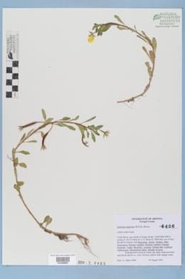 Ludwigia peploides image