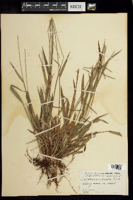 Image of Paspalum corcovadense