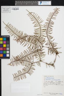Image of Gleichenia microphylla