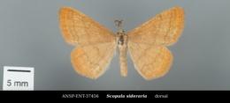 Image of Scopula sideraria