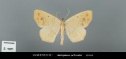 Antepione ochreata image