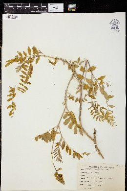 Image of Astragalus monticola