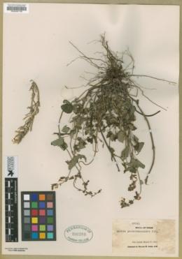 Image of Salvia penstemonoides