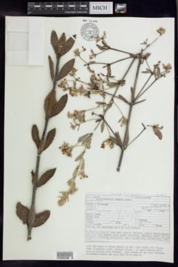 Image of Banisteriopsis irwinii
