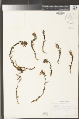 Castilleja parviflora var. parviflora image