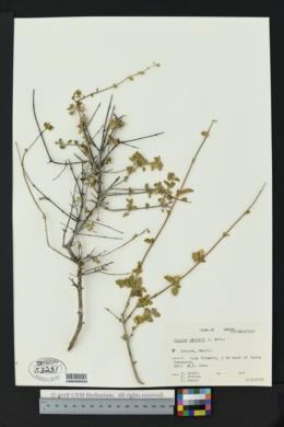 Lippia palmeri image