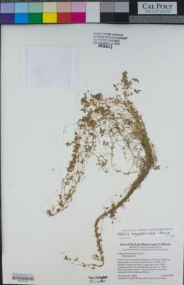 Callitriche longipedunculata image