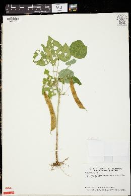 Phaseolus vulgaris image