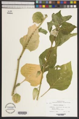 Physalis alkekengi image