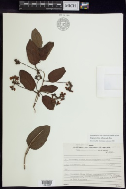 Image of Stigmaphyllon affine