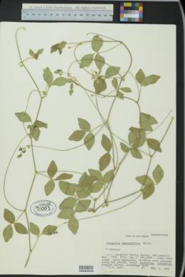 Macroptilium gibbosifolium image