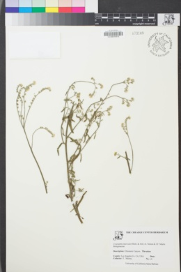 Image of Cryptantha muricata