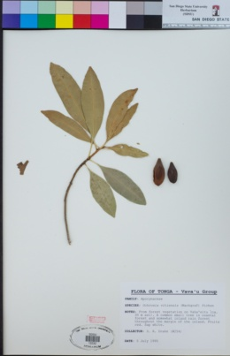 Image of Ochrosia vitiensis