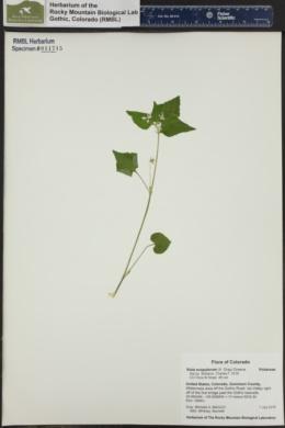 Viola scopulorum image