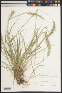 Image of Roegneria jacquemontii