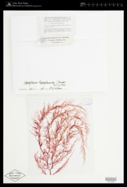 Hypoglossum hypoglossoides image