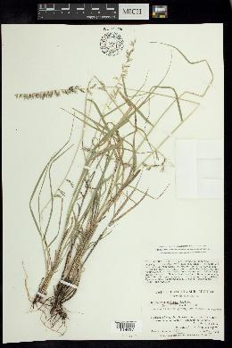Image of Bouteloua reflexa