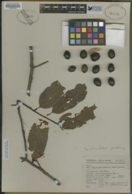 Image of Prunus hintonii