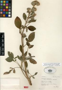 Phacelia nemoralis var. nemoralis image