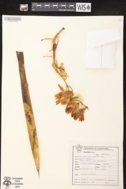 Image of Yucca australis