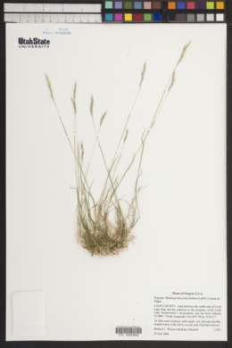 Rytidosperma penicillatum image