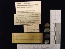 Sphaerium corneum image
