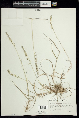 Image of Bouteloua purpurea