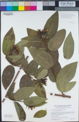Calycanthus occidentalis image