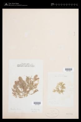 Jania cuvieri image