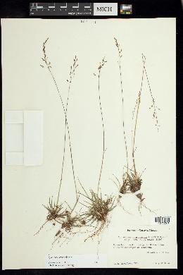 Image of Sporobolus erectus