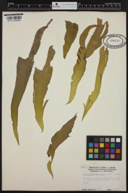 Halorhipis winstonii image