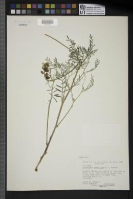 Astragalus schmollae image