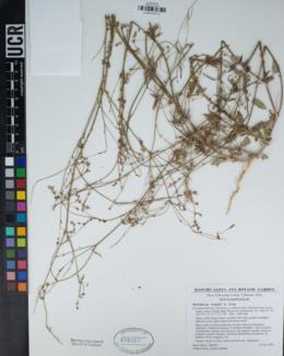 Boerhavia wrightii image