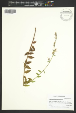 Asyneuma prenanthoides image