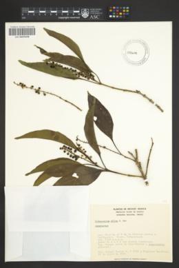 Image of Citharexylum affine