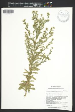Laennecia schiedeana image