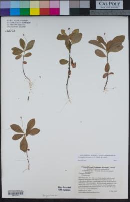 Image of Lysimachia europaea