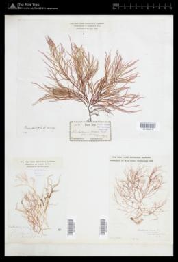 Agardhiella subulata image