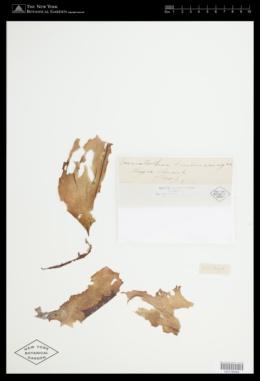 Halymenia duchassaingii image