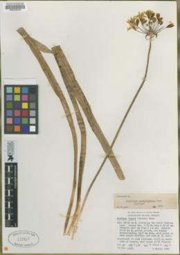 Brodiaea lugens image