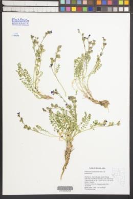 Polemonium pulcherrimum var. pulcherrimum image