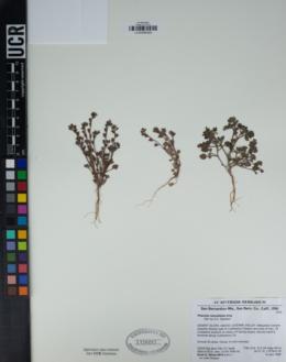 Phacelia rotundifolia image