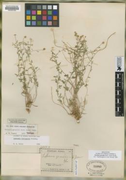 Perityle gracilis image