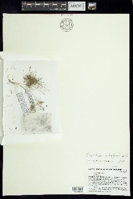 Image of Eleocharis schaffneri