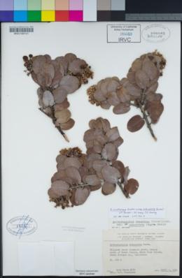 Arctostaphylos crustacea image