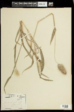 Lagurus ovatus image