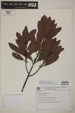 Image of Myrsine guianensis